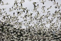 Snow Geese Landing in a field. Thousands of Snow Geese coming in for a landing Stock Image