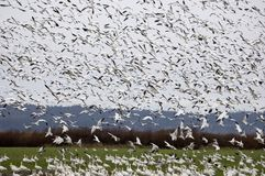 Snow Geese Landing in a field. Snow Geese coming in for a landing Royalty Free Stock Image