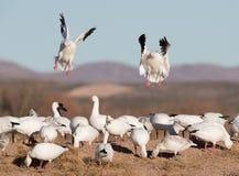 Snow geese landing in flock. Stock Image