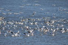 Snow Geese Landing in the Lake Royalty Free Stock Photography