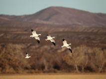Snow geese landing. In New Mexico with mountains in the background Royalty Free Stock Photos