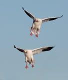 Snow geese landing Stock Photos