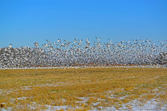 Snow Geese Lift Off Stock Photo