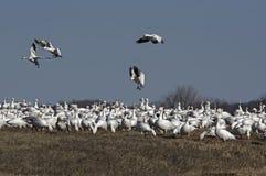 Snow Geese Migrating Stock Photos