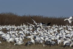 Snow Geese Migrating Royalty Free Stock Photos
