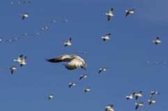 Snow Geese Migrating Royalty Free Stock Photo