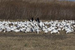 Snow Geese Migrating Stock Photography