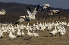 Snow Geese Migrating Stock Image