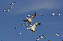 Snow Geese Migrating Stock Images