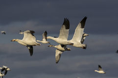 Snow Geese Migrating Royalty Free Stock Photography