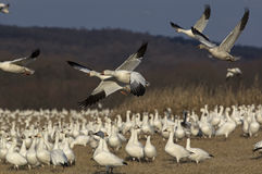 Snow Geese Migrating Royalty Free Stock Images