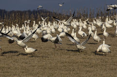 Snow Geese Migrating Royalty Free Stock Image