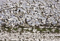 Free Snow Geese Migration Stock Image - 5122211