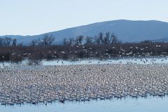 Snow geese migration Stock Photo
