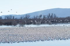 Snow geese migration Royalty Free Stock Images