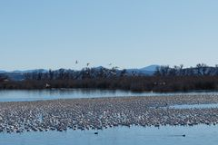 Snow geese migration Royalty Free Stock Photos