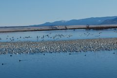 Snow geese migration Royalty Free Stock Image
