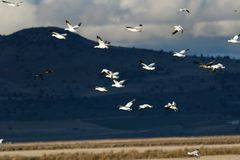 Snow geese migration. In the Klamath Basin National Wildlife Refuge. Oregon, Merrill, Taken 02.2018 royalty free stock photos