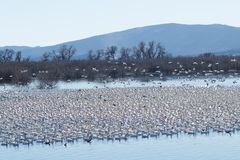Snow geese migration Stock Photos