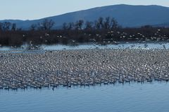 Snow geese migration Stock Photography