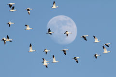 Snow Geese With Moon Royalty Free Stock Image