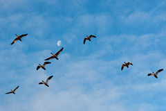 Snow Geese and Moon Stock Image