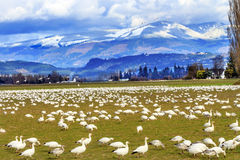 Snow Geese Mountains Skagit Valley Washington Royalty Free Stock Photos
