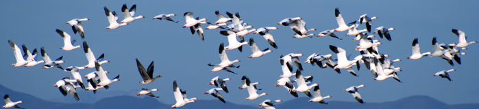 Snow Geese Over the Mountains Royalty Free Stock Photography