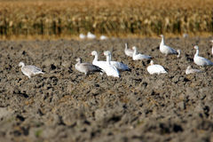 Snow geese in plowed field Royalty Free Stock Photography