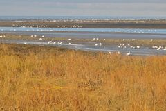 Snow Geese Return to Canadian South Lands Royalty Free Stock Photography