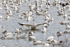 Snow Geese on river wings out Stock Photo
