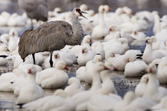 Snow Geese and Sandhill Crane Stock Photo