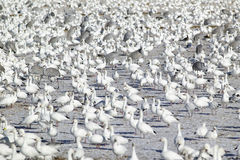 Snow geese and Sandhill cranes on frozen field at the Bosque del Apache National Wildlife Refuge, near San Antonio and Socorro, Ne Royalty Free Stock Photos