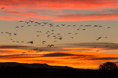 Snow Geese Silhouetted in Flight Stock Photo