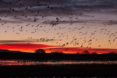Snow Geese Silhouetted at Sunrise Royalty Free Stock Image