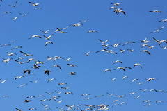 Snow geese and sky Stock Photos