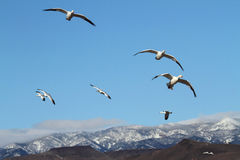 Snow Geese And Snow-covered Mountains Royalty Free Stock Photography