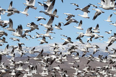 Snow Geese And Snow-covered Mountains. Snow Geese (chen caerulescens) and Ross Geese flying in front of snow-covered mountains in Bosque del Apache Stock Photo