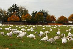 Snow Geese on Sports Field Stock Photos