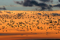 Snow Geese at Sunrise at Bosque del Apache National Wildlife Ref. Snow geese  (Chen caerulescens) st sunrise flying to their feeding fields at Bosque del Apache Stock Image