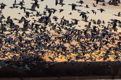 Snow Geese at Sunrise stock photo