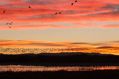 Snow Geese Sunrise Flyoff Stock Images