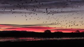 Snow Geese Sunrise Flyout stock footage