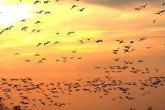 Snow Geese at Sunset. Snow Geese (chen caerulescens) and Ross Goose (C rossii) flying in front of the setting sun Stock Image