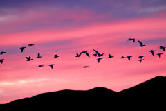 Snow Geese at Sunset Stock Images