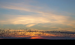 Snow Geese at Sunset Royalty Free Stock Image