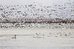 Snow Geese and Swans Stock Photo