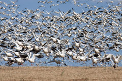 Snow Geese Take Flight Royalty Free Stock Images