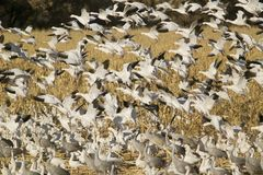 Snow geese take off from cornfield over the Bosque del Apache National Wildlife Refuge at sunrise, near San Antonio and Socorro, N Stock Photos