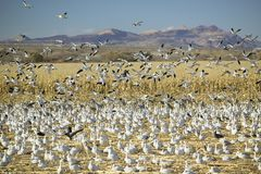 Snow geese take off from cornfield over the Bosque del Apache National Wildlife Refuge at sunrise, near San Antonio and Socorro, N Royalty Free Stock Photo